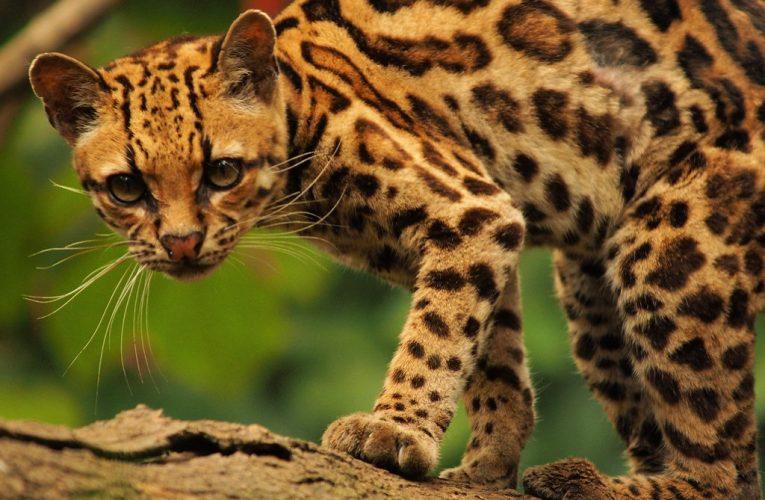 Ayude a salvar el hábitat del Tigrillo de Tabio.
